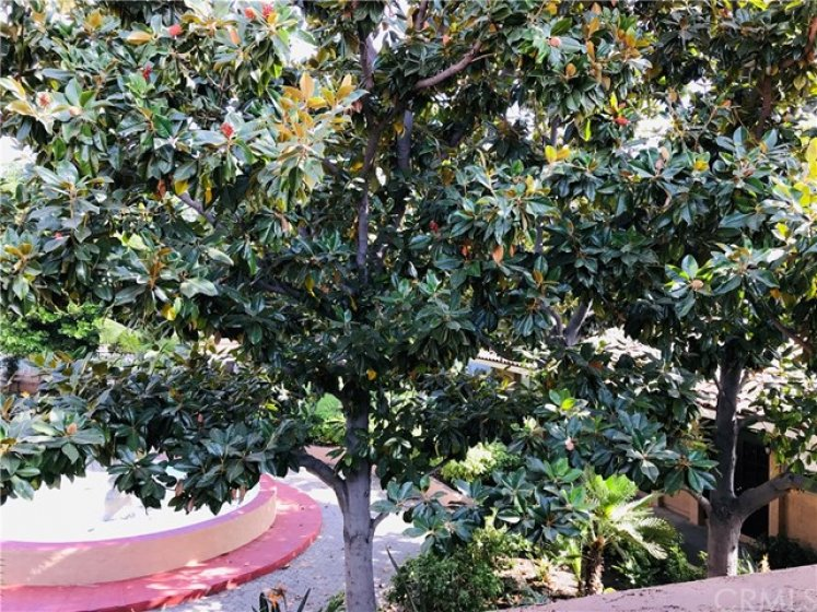 Beautiful view of large Magnolia Tree from inside the house and the patio. Much better than looking at a stucco wall!
