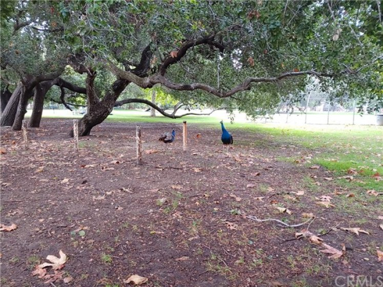 Enjoy the Peacocks at Irvine Regional Park just short drive away