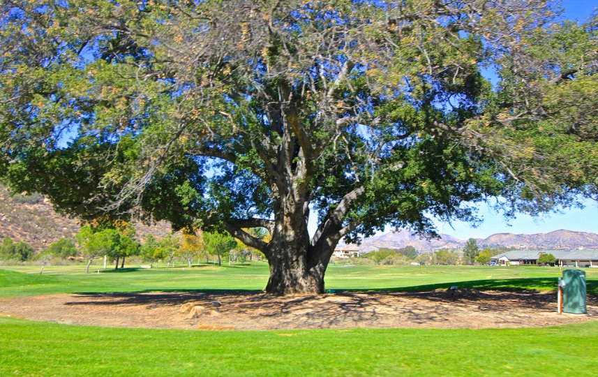 Beautiful Oak Tree at Bear Creek, there is a nice open space surrounding it