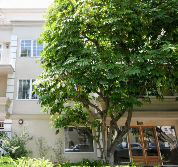 A large tree grows in front of a building numbered 955 in Beverly Center, California.