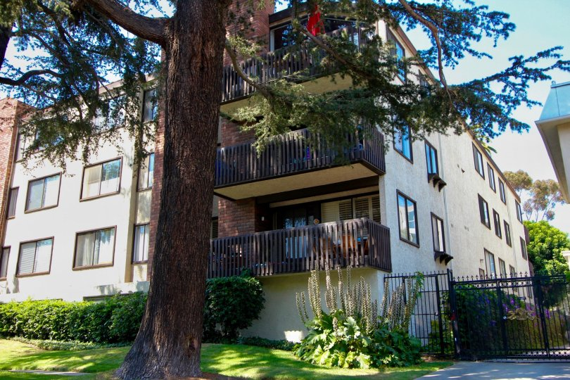 Stunning pine tree in front of an apartment building in Brentwood California