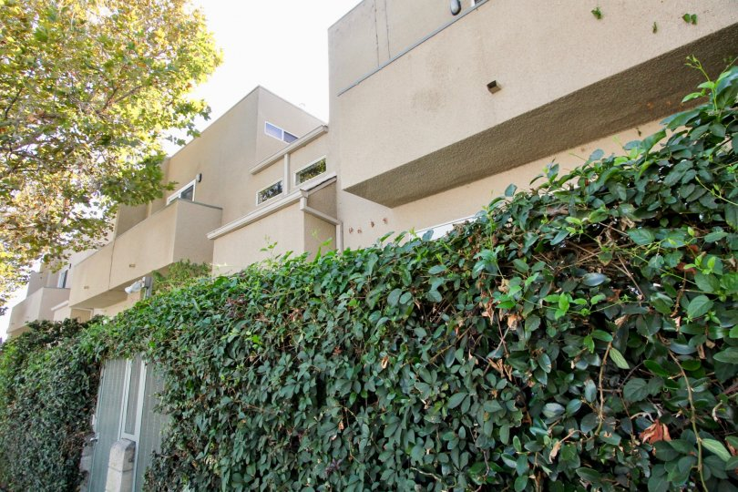 The hedges around Sycamore Townhomes in Hollywood, California
