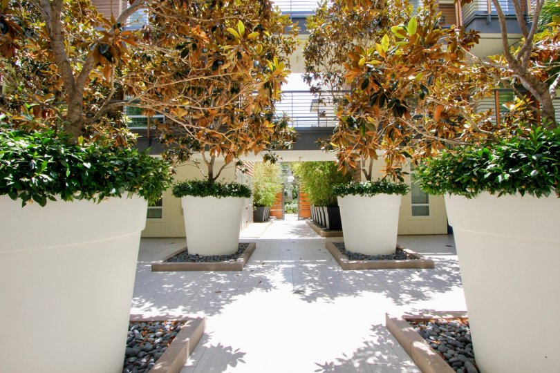 Planters with trees and foliage in Primera Terra in Playa Vista, CA.