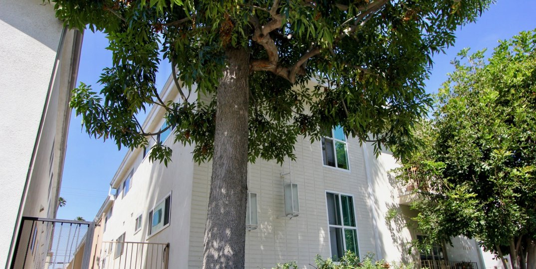 Giant tree near 1119 Lincoln in Santa Monica California