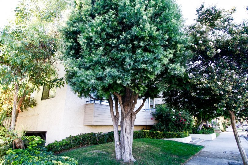 The trees around 4515 Coldwater Canyon Ave