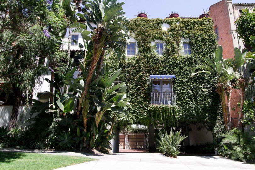 The ivy that has grown over the 7 Fountains building