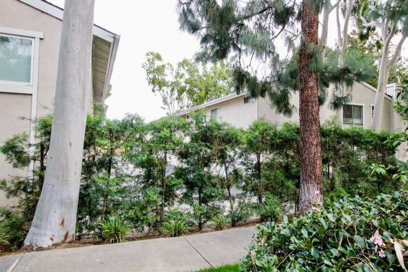 Green Tree Fullerton California blending roof and three big trunk trees in narrow path