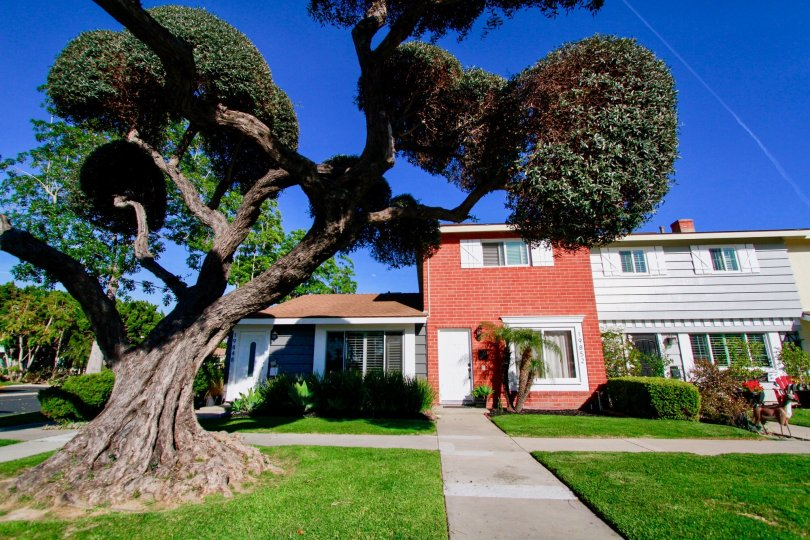 Bay Huntington Beach California big trunked huge tree put its shadow upto the home