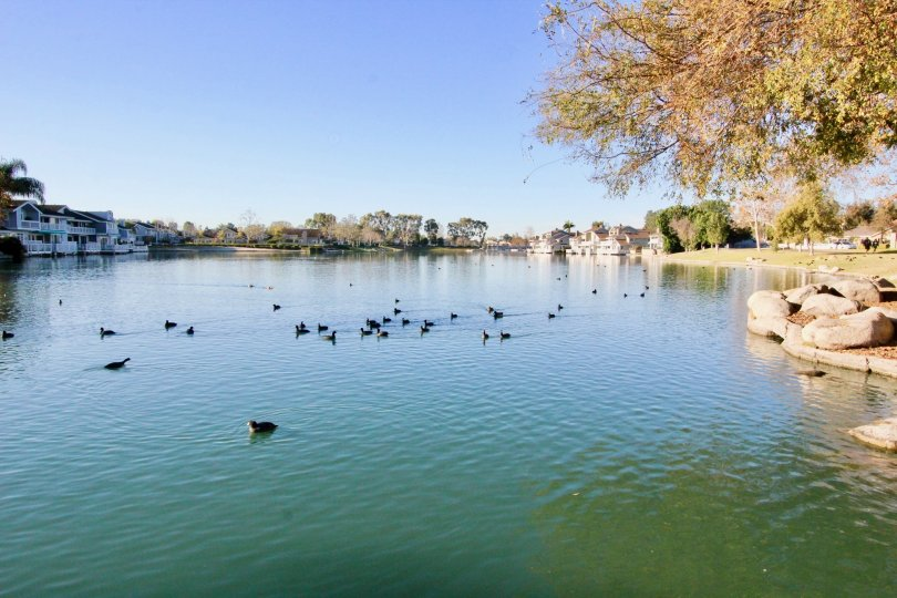 A lake with ducks on a sunny day at WIllow Creek in Irvine