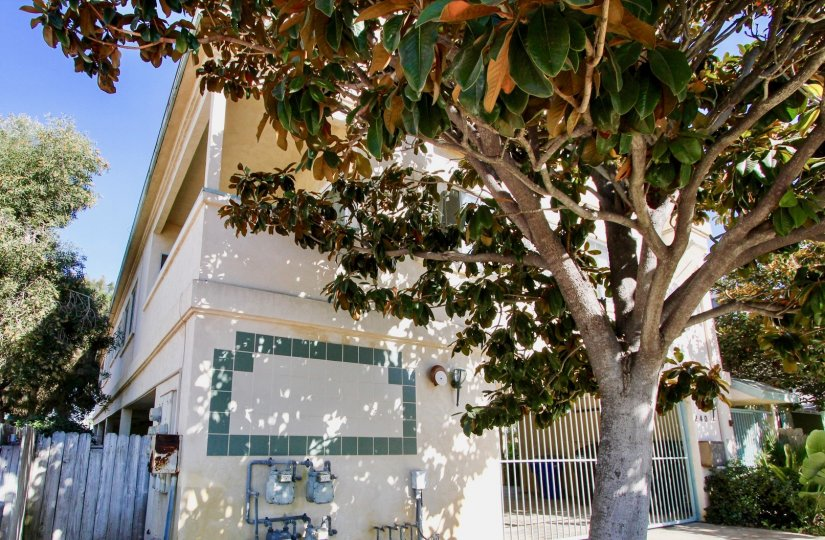 A tree with big leaves and lots of shade with a house in the background at Dahlia, Imperial Beach, CA