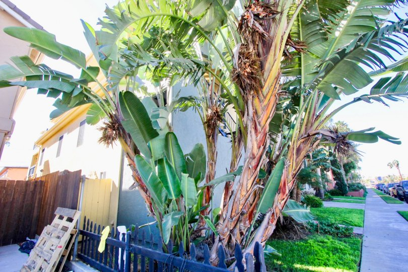 Palm tree near residence at Ocean Terrace in Imperial Beach CA