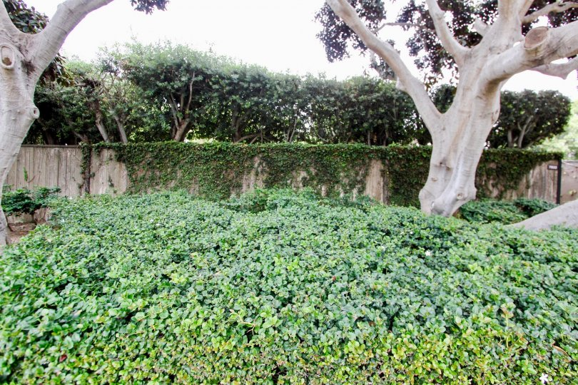 Cliffs, City: La Jolla, compound wall with all the creepers and trees