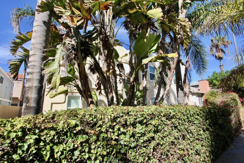 Large trees and topiaries at Isthmus Condos in Mission Beach, California.